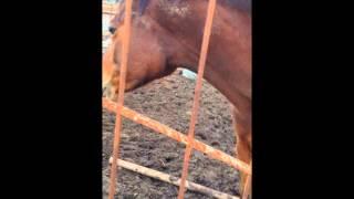 Лошадь и амстафф. Любовь собаки и лошади.American Staffordshire Terrier and the horse.