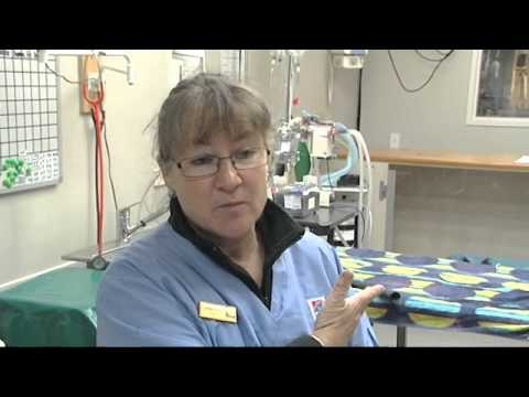 A Career As A  Vet Nurse  (JTJS72012)