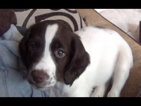 ★ My 8 Week Old Springer Spaniel ★CUTE★