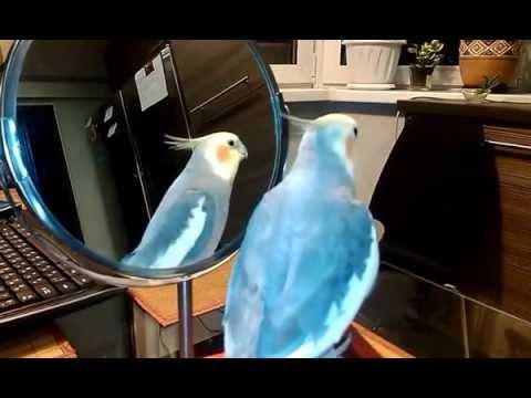 говорящий попугай корелла Герочка