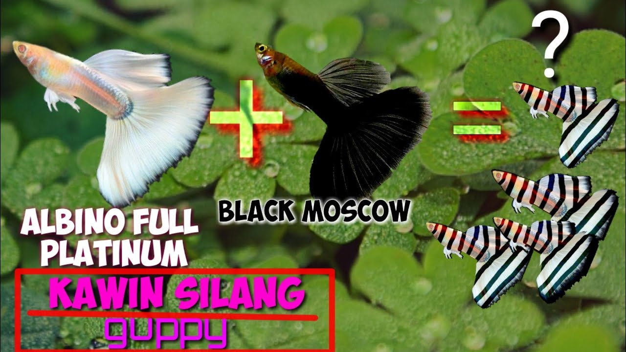 Apa jadinya? Guppy black Moscow vs albino full platinum ...
