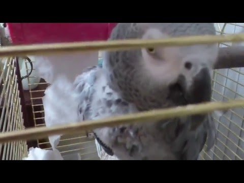 African Grey Parrot EGOR Swearing
