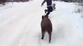 Собаки гоняют кабана, кабан гоняет людей