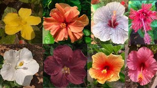 Hibiscus Collection Of My Garden  || Idea Of Indian