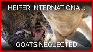 goats-found-neglected-abused-in-heifer-international-s-service-area