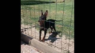 ENGLISH TOY TERRIER.