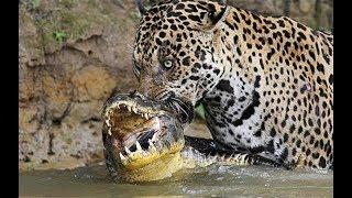 Животный мир, Лесная жизнь дикой кошки Ягуара сильный страшный хищник