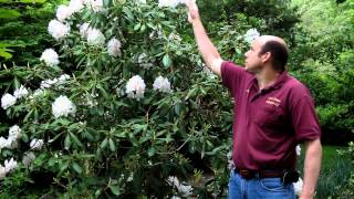 Large Leaved Rhododendron - Rhododendron Spp. | Large Evergreen Flowering Shrub