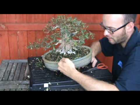 Bonsai Pruning Satsuki Azalea Part 2 - Peter Warren