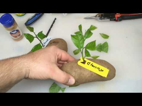 Put Lemon Cutting In Potato And It Grow Part