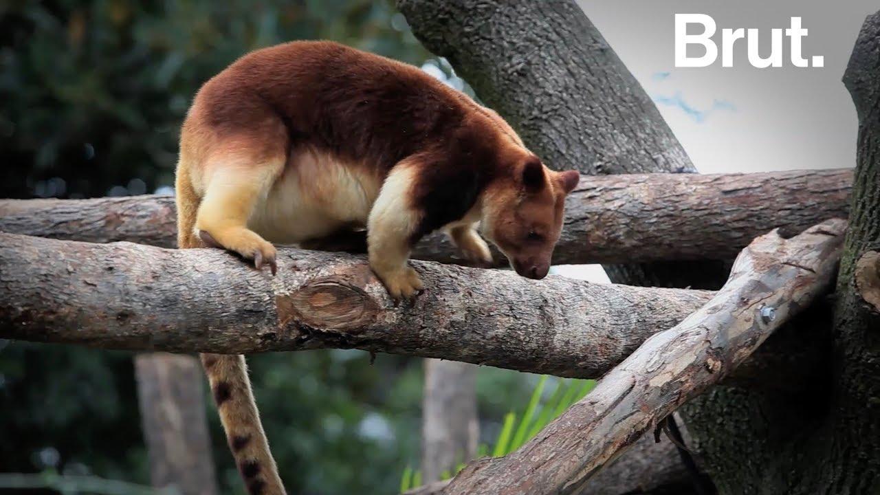 Le dendrolague, le kangourou des arbres