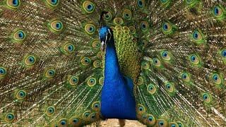 Индийский павлин - Indian Peafowl (Энциклопедия животных)