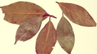 ЛАВРОВЫЙ ЛИСТ ПОЛЬЗА | польза лаврового листа для организма, отвар лаврового листа польза