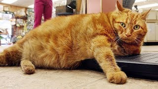 Why the average weight of cats is on the rise