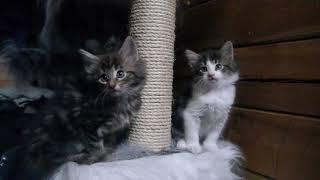 Норвежские лесные котята Yoghurt, Yozef и Yenni, 1,5 месяца