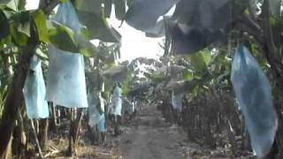 DOLE BANANA PLANTATION, TAGUM CITY, PHILIPPINES.wmv