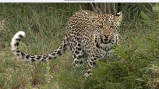 Lampart  - świat zwierząt Afryki ,, Safari