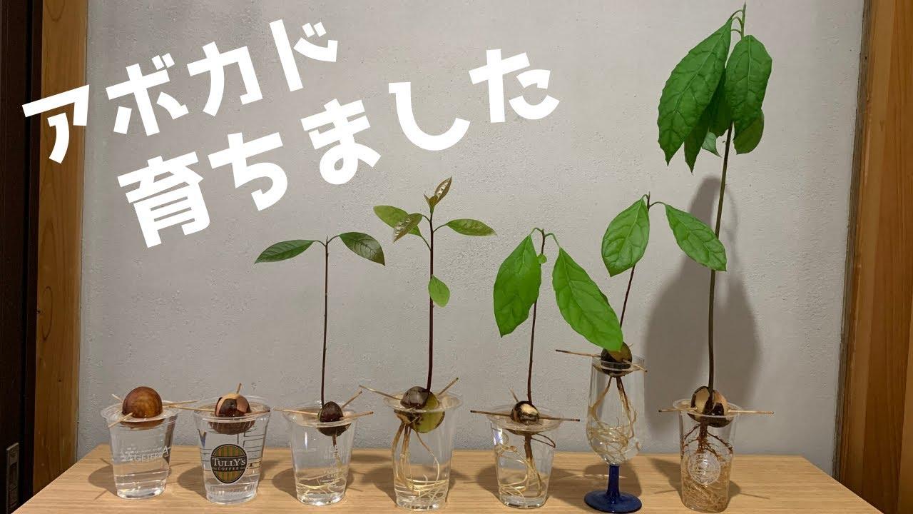 水栽培 アボカド の 種