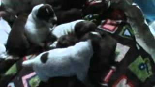 Gsp Puppies Open Their Eyes! 16 Days Old!