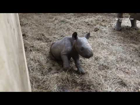 Thumbnail: Newborn black rhino calf Moyo at Saint Louis Zoo