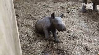 Newborn black rhino calf Moyo at Saint Louis Zoo