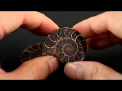 アンモナイト 化石 28g / Ammonoidea