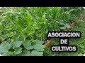 Asociacion Precolombina o Milpa - Maíz Judías Calabazas