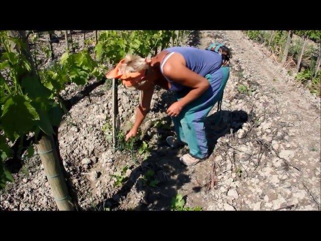 Le vigne di Brunello in primavera