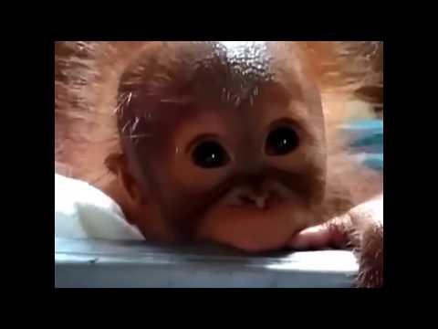 Baby Orangutan Found Alone On Palm Oil Plantation | The Dodo
