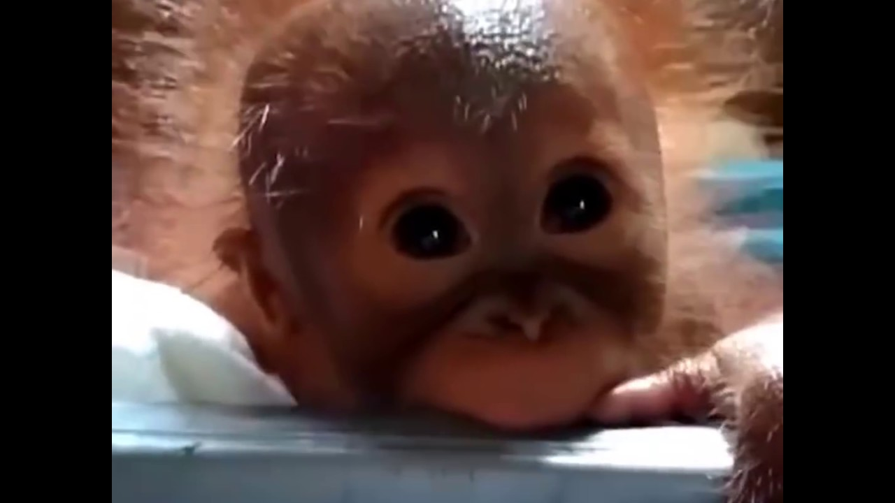 Baby Orangutan Found Alone On Palm Oil Plantation | The Dodo