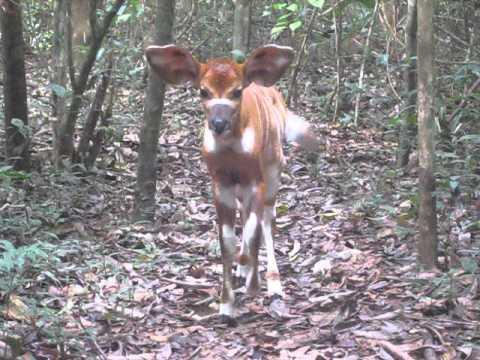 Lowland Bongo in Gola Forest in SE Sierra Leone Feb 23, 2014