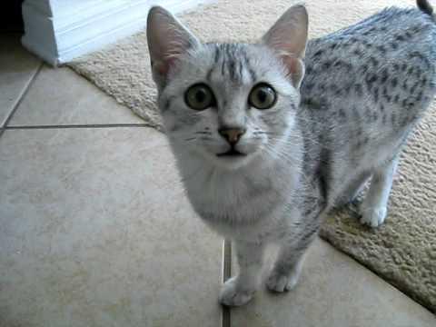 Thumbnail for Cat Video Egyptian Mau Meow