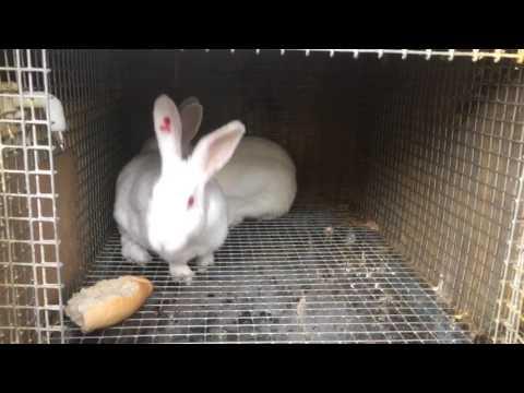 Başarılı Bir Tavşan Çiftleşmesi