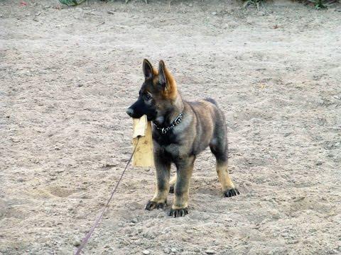 Arcturus Puppy Training