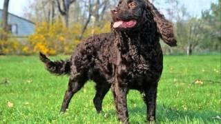 Все породы собак.Американский водяной спаниель (American Water Spaniel)