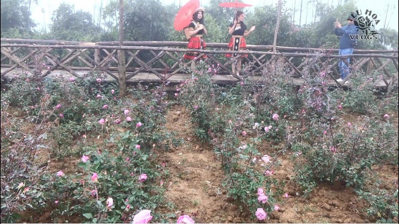 Lên Sapa ngắm hoa hồng Sapa | Phần 4 | Ngắm hồng Sapa trong bản Cat Cat