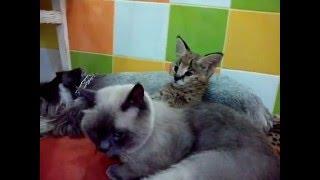 Сервал дома, котята сервала, мини леопард дома, ручные котята