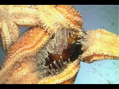Sea Star Feeding