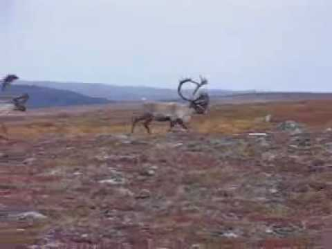 Caribou on the move at Aventure Tunilik
