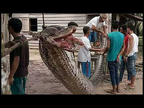 Whoa! Indonesian Man Nearly Loses Arm Battling 25-Foot Python