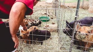 He finally gets his PIGS! (choosing our Kune Kune piglets)