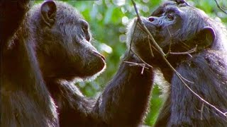 Chimpanzee Gets A Hair Cut | Walk On The Wild Side | Funny Talking Animals | BBC Earth