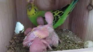 珍しくオスが雛に餌をやっています。