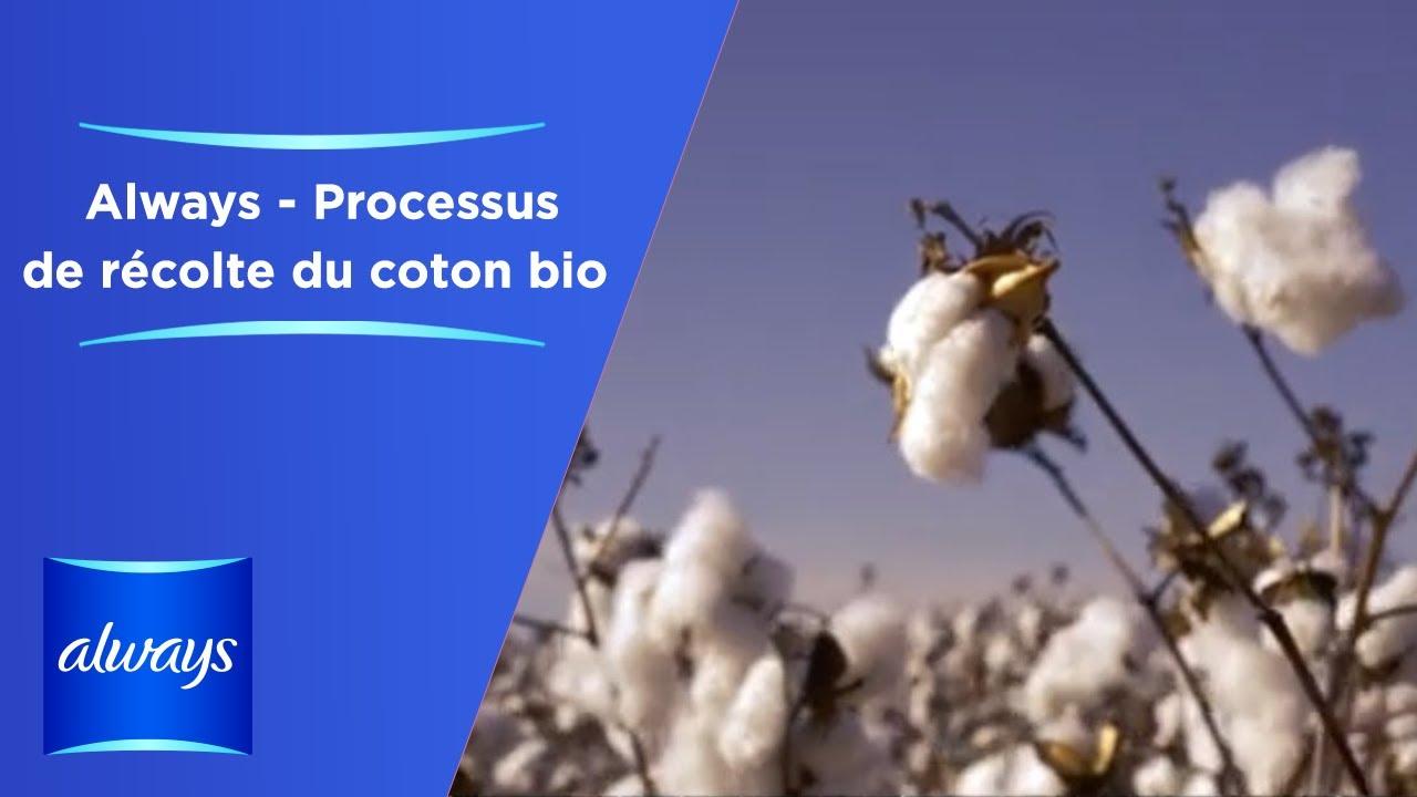 Processus de récolte du coton bio des serviettes hygiéniques Always