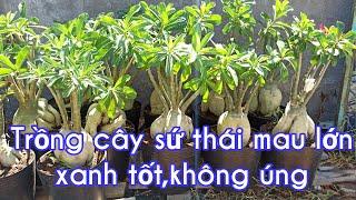 Cách trồng cây sứ thái mau lớn củ,không úng thối - Vườn Nhà Bon