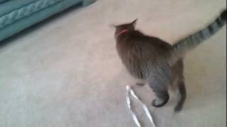 Boomer Plays With A String