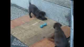 59 Days Old, Chocolate Labrador Retriever Puppies