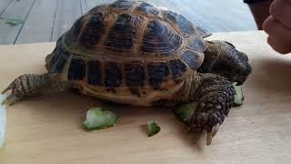Черепаха среднеазиатская, нашли на дороге в августе 2018