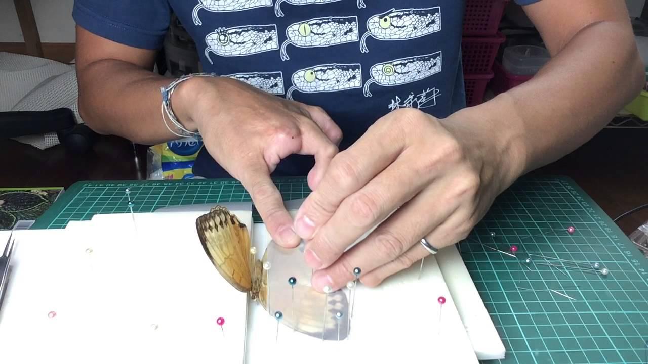 熱血阿傑 ️生態蝴蝶標本製作( 阿傑親自教學 ) 展翅基本法 Butterfly specimens Make - YouTube