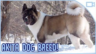 Facts About Akitas!